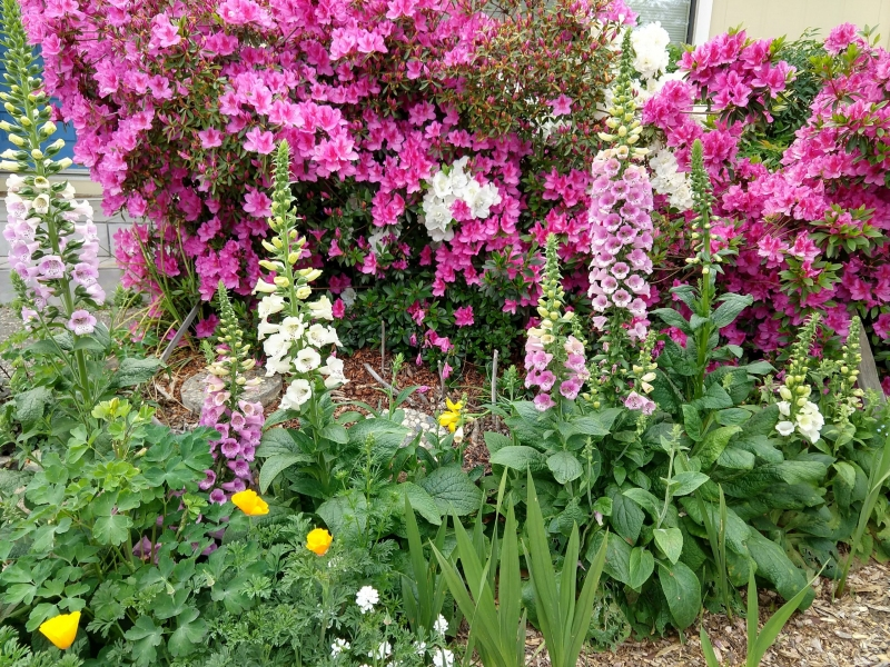 Azaleas-and-foxgloves -EA