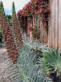 Echium-Tower-of-Jewels-foreground-Bignoria-capreolata-Tangerine-Beauty-on-fence - Cheryl