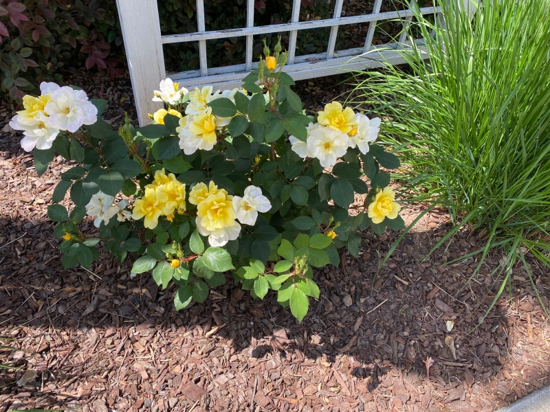 Groundcover type yellow rose