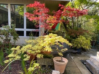 Japanese maples - B&PK