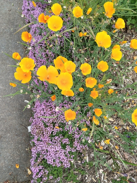 Poppies and woolly thyme - EA