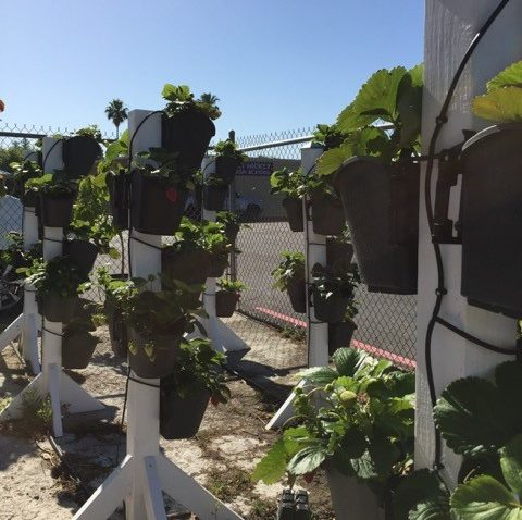 Space-saving plant towers with drip irrigation were built by students at Leo A. Palmiter School.