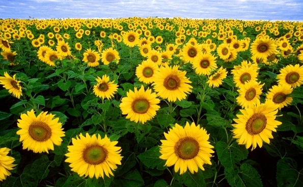 All About Sunflowers
